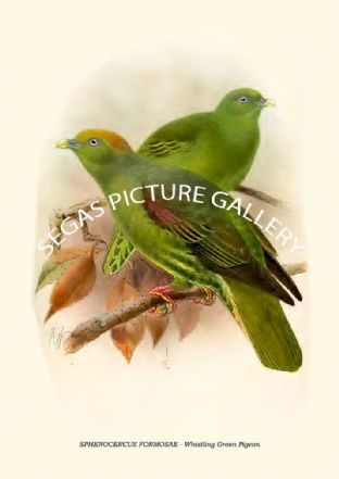 SPHENOCERCUS FORMOSAE - Whistling Green Pigeon